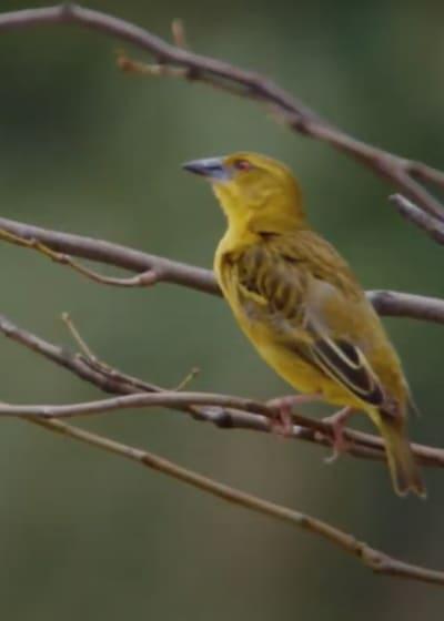 Weaver Bird on a Branch