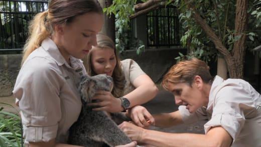 Bindi Helps a Koala