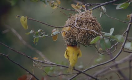 A Wild Year on Earth Finale Sneak Peek: Battle of the Weaver Bird Bachelor Pads