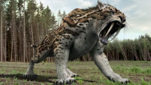 Sabertooth Tiger Zoo Possibility