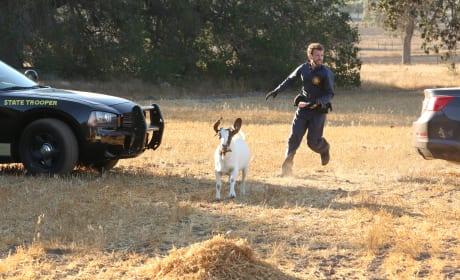 Hodgins Chases a Goat For Evidence! - Bones Season 10 Episode 6